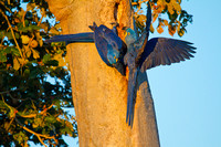 Hyacinth Macaws at Nest